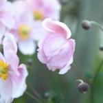 Lawrensons Pink
