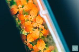 Ludwigia Repens 'super red' Aquatic Plant