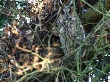 Long Eared Owl Photo: Peter Green