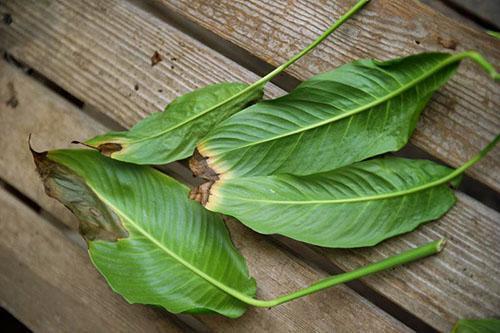 Почему чернеют листья и цветы у спатифиллума