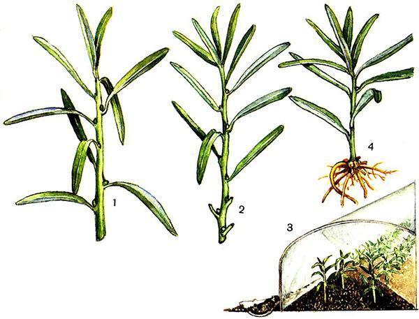 Эстрагон посадка и уход в открытом грунте. Посадка эстрагона семенами в открытый грунт