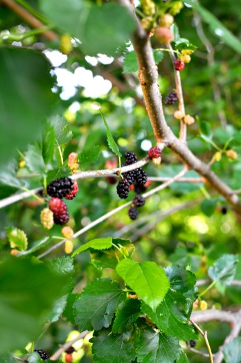 Mulberry trees ready to harvest