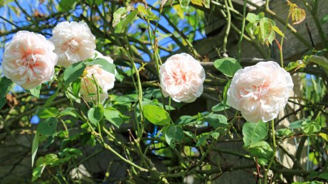 Rosa 'Gloire de Dijon'