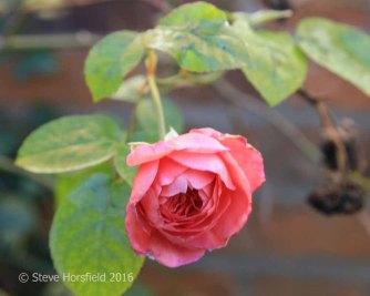 Rosa 'Strawberry Hill'