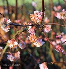 Viburnum ×bodnantense