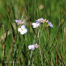 Cuckoo Flower Cardamine pratensis