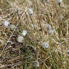Harestail Cotton Grass Eriophorum vaginatum
