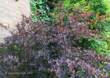 Berberis thumbergii 'Red Chief'