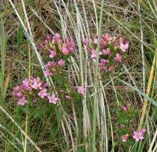 Common Centaury pink (Centaurium erythraea )