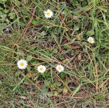 Daisy ( Bellis perinnes)