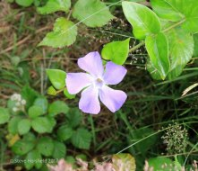 Greater Periwinkle (Vinca major )