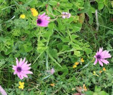 Osteospermum Species
