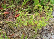 Portland Spurge (Euphorbia portlandica )