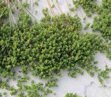 Prickly Saltwort (Salsola kali )