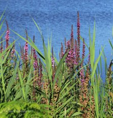Purple Loosestrife (Lythrum salicaria )