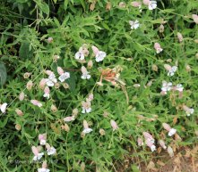 Sea Campion (Silene maritima )