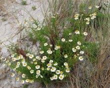Sea Mayweed (Tripleurospermum mariitimum )