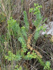 Sea Spurge (Euphorbia paralias )