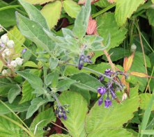 Woody Nighshade (Solanum dulcamara)