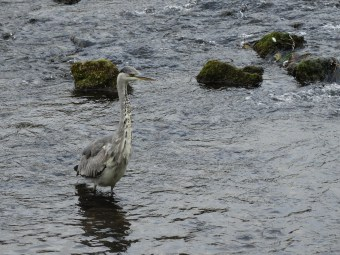 Grey crane in River Wye