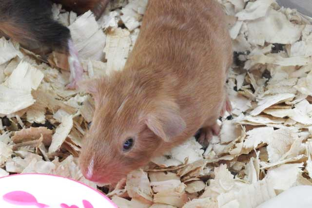 baby guineapig for sale