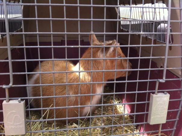 Goats at DeMille's Farm Market