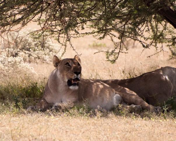 Pregnant lioness