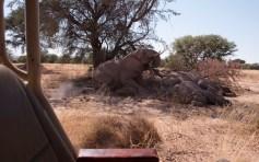 Desert elephants - time for a nap