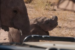Desert elephants - up close