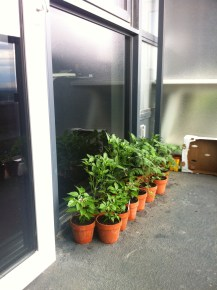 The chilli plants have grown.