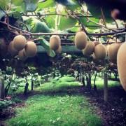 More kiwi fruit