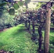 Kiwi fruit vines
