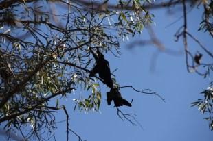 Bats at Fern Pool. Dales Gorge, Karijini, Western Australia.
