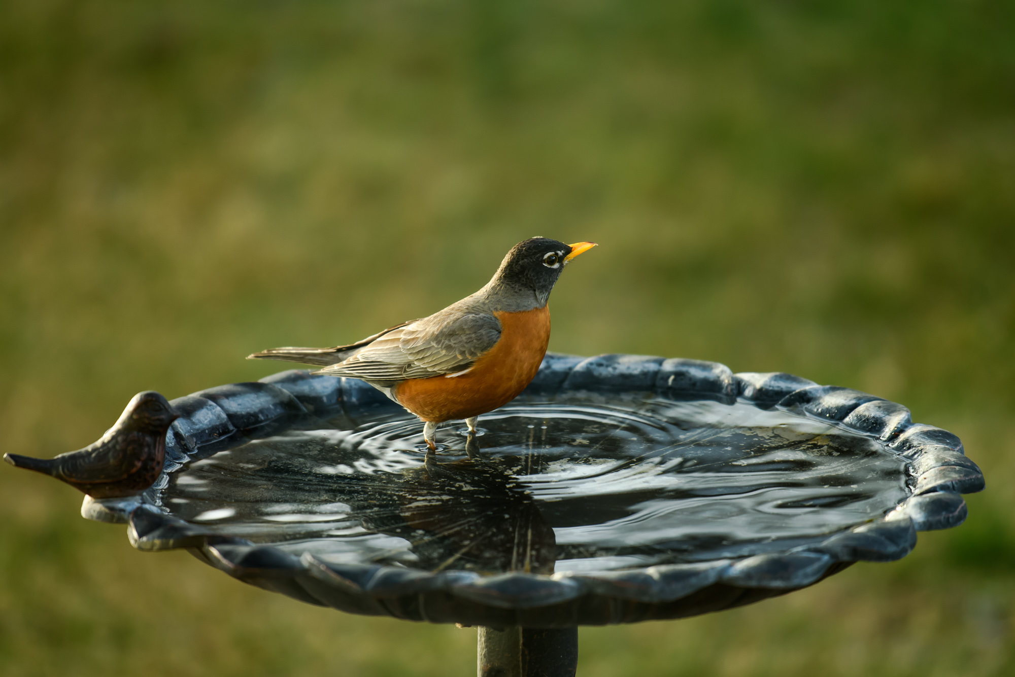 My First Visitor To The Birdbath