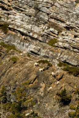 Mountain bighorn sheep climbing down a cliff face.