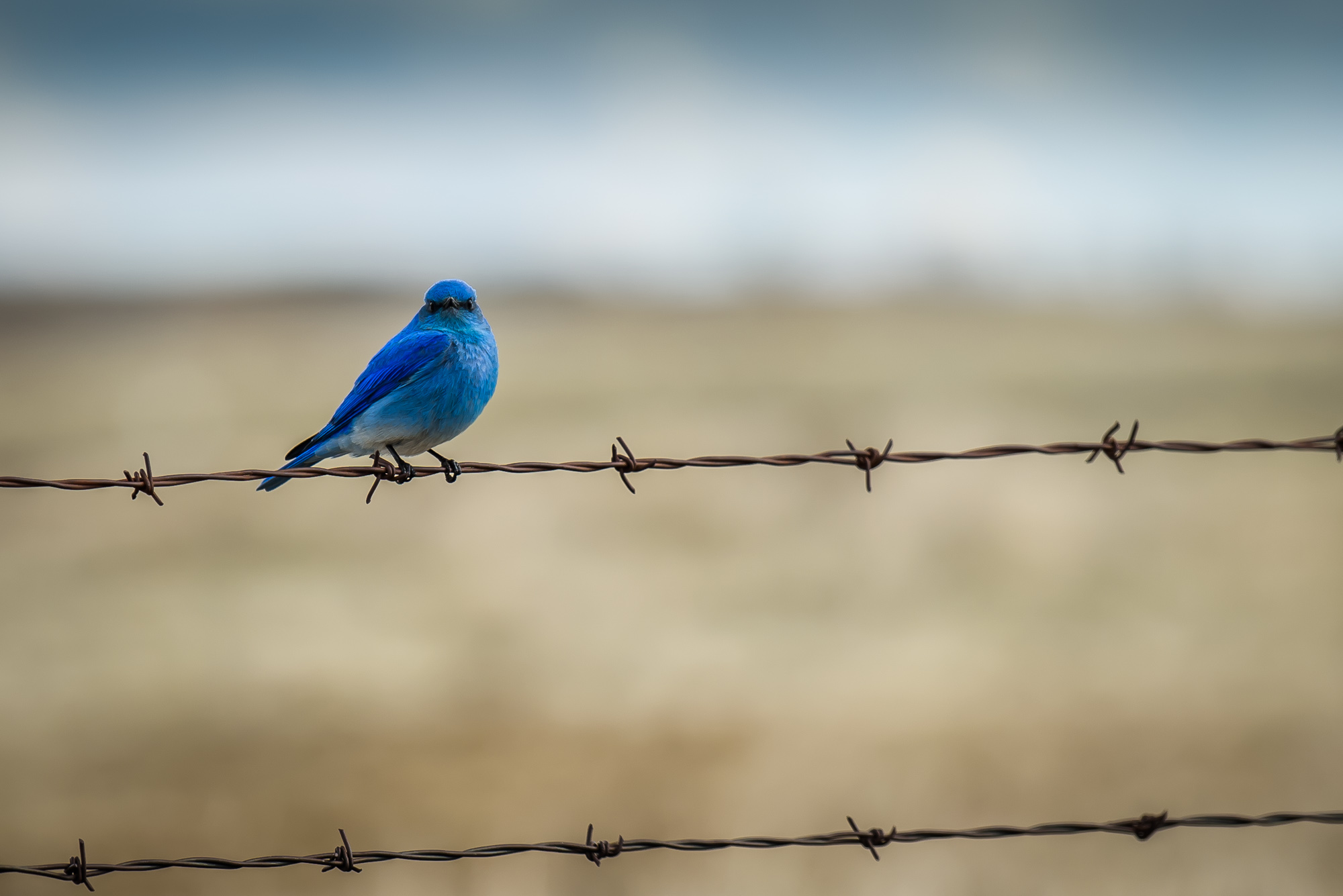 Rocky Mountain Bluebird - male