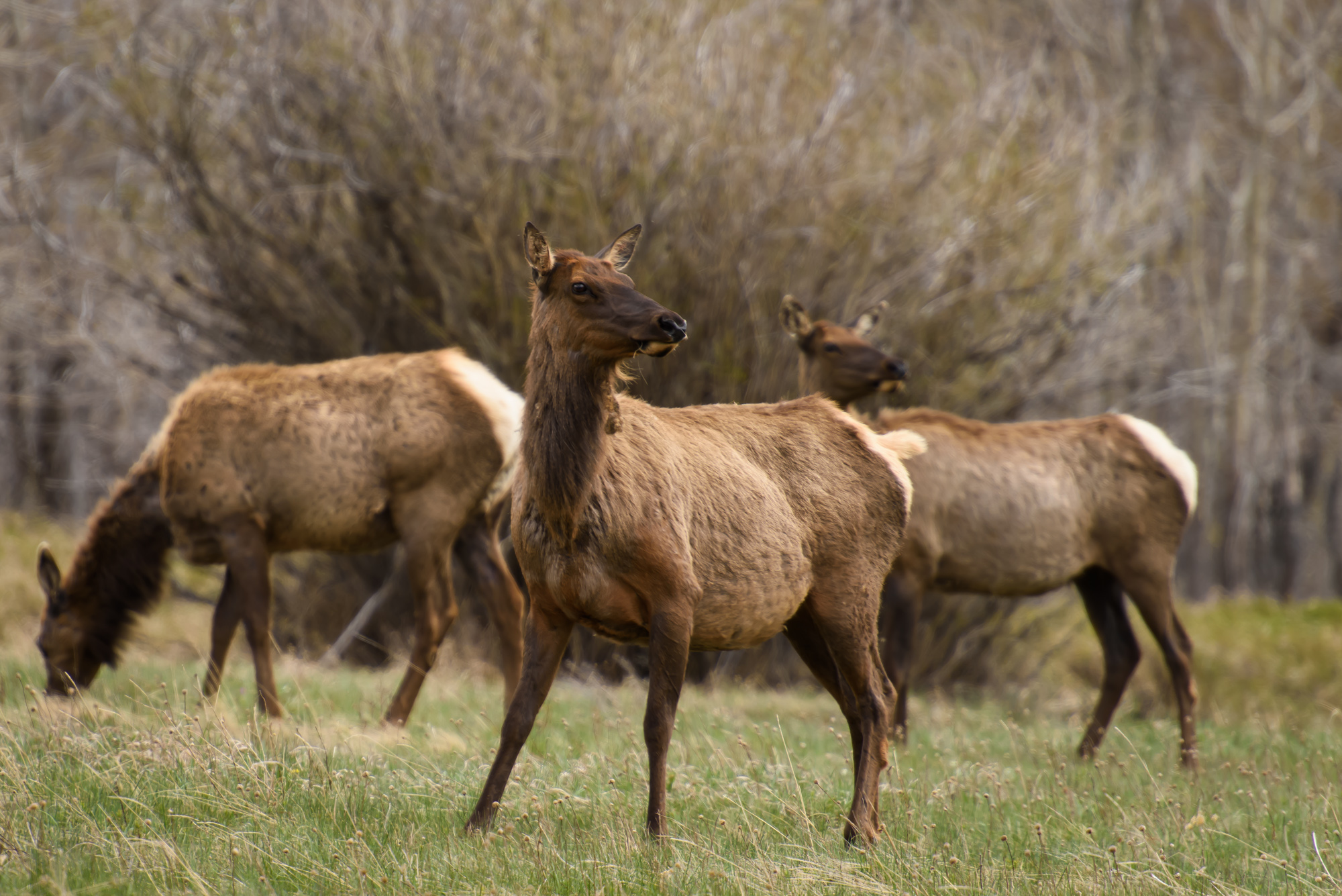 Elk on the alert