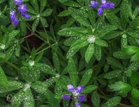 APRIL: Morning showers leave droplets that look like diamonds on Lupine in Mount Rainier National Park.