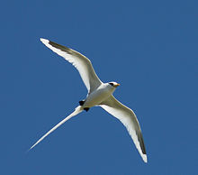White tailed tropic bird