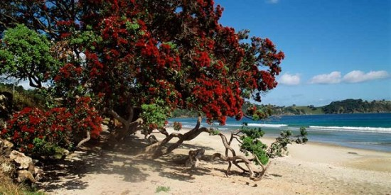 Pohutukawa-Tress-on-the-beach-in-NZ