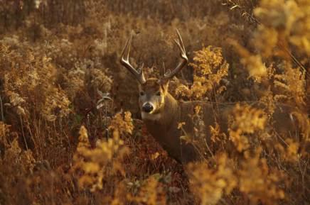 Buck at Prairie View in the Autumn