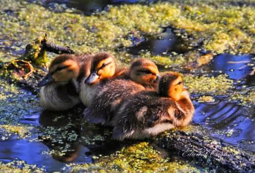 Ducks, Ed Crestoni