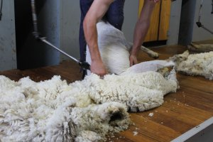 choose Glenwood Merinos for easy shearing and exceptional wool