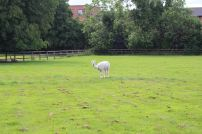the alpaca at the hotel