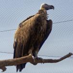 Vulture at Kalba Bird of Prey Centre, UAE