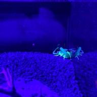 Scorpion at Al Hefaiyeh Mountain Conservation Centre, Kalba