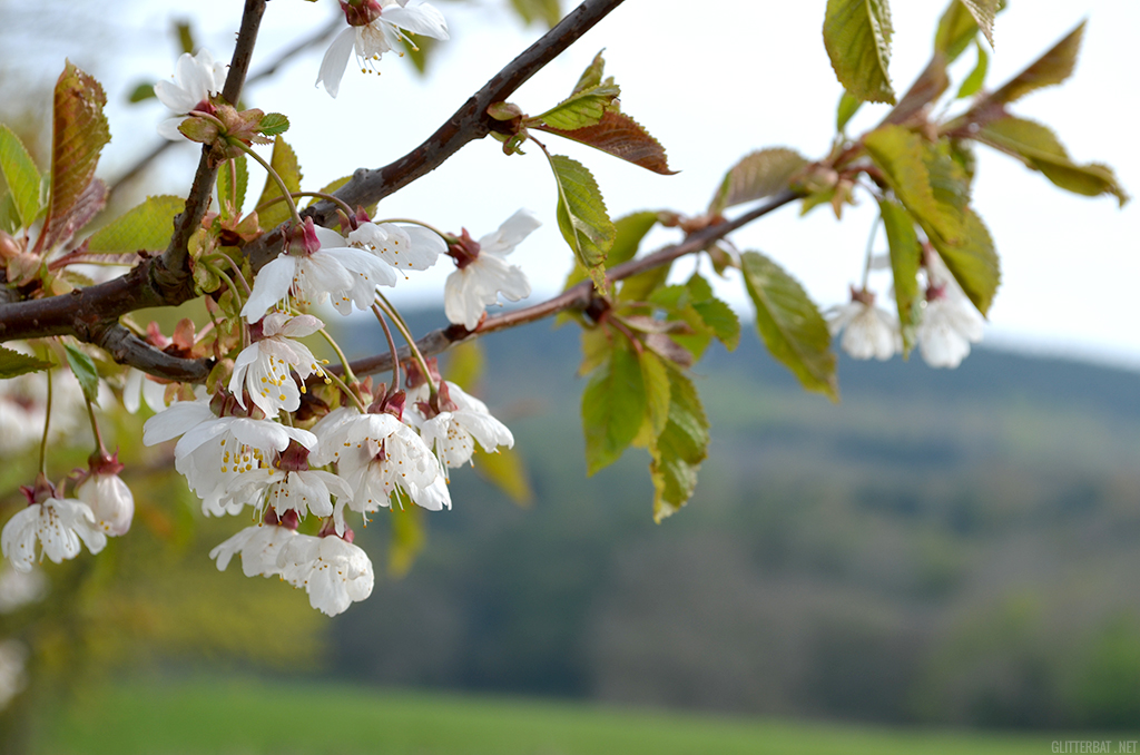 Blossom at Ox Pasture Hall