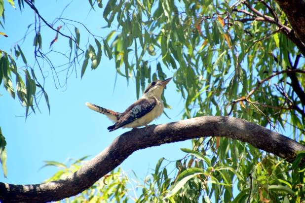 Kookaburra sits in the old gum tree. Merry, merry king of the bush is he...