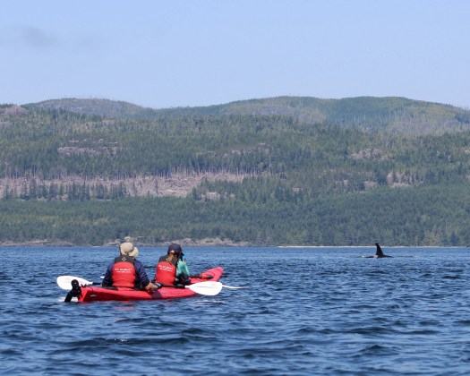 sea kayaking with orcas, Johnstone Strait, Vancouver Island British Columbia