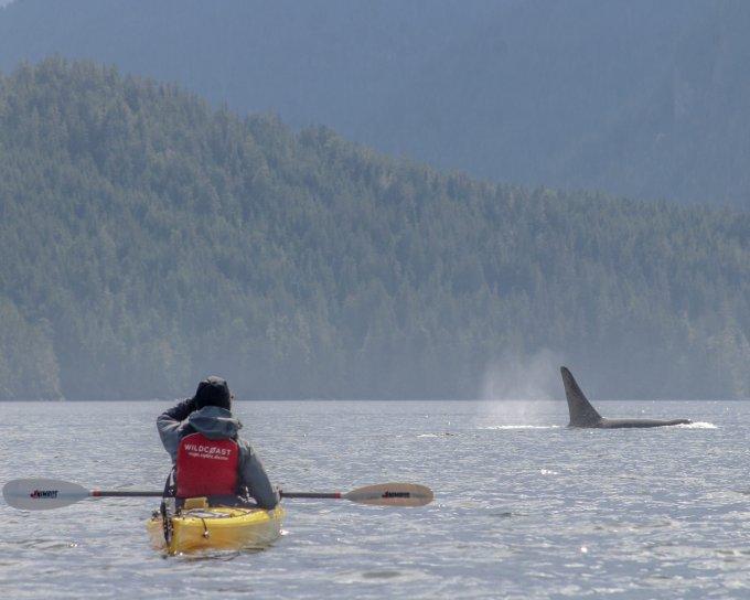 sea kayak with orcas